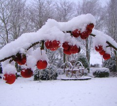Snow covered crab apples photo by Theresa_Gunn