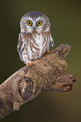 Saw-Whet Owl photo by Stephen Oachs (ApertureAcademy.com)