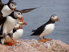 Photo of the week - Atlantic puffins landing photo by U. S. Fish and Wildlife Service - Northeast Region