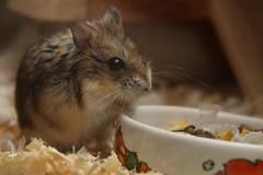 Hamster photo by captainmcdan