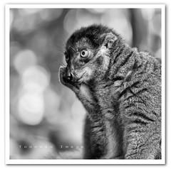 Singapore Zoo - Brown Lemur photo by TOONMAN_blchin