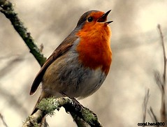 sing out it christmas  [robin] photo by coral.hen4800