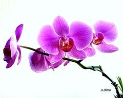 Linda orquídea! photo by o.dirce