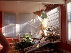 Hurricane Katrina fells oak