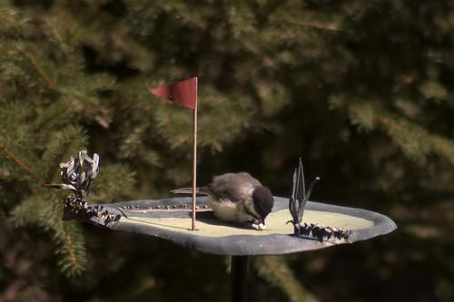 Chickadee Golfing
