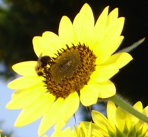 bee-sunflower