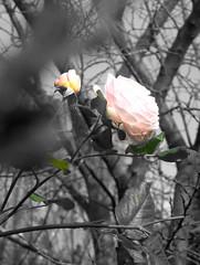 roses, 22.09.2005