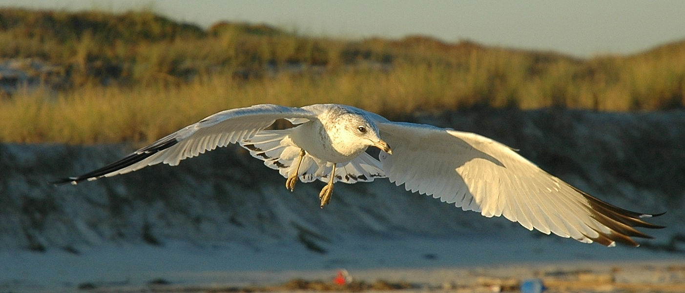 gull in flight at sunset