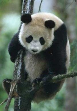panda-large