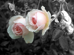 roses, 22 septembre 2005