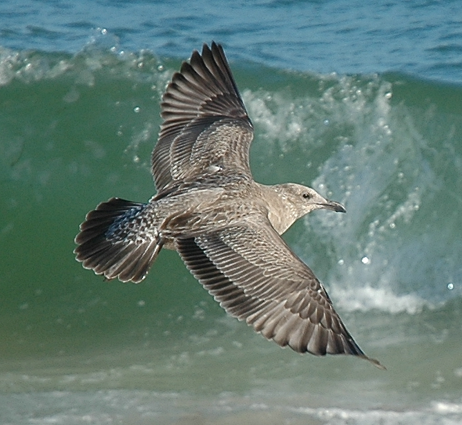 immature American Herring Gull