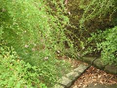 萩の小道 / alley of bushclover