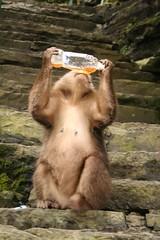 Cheeky Monkey on Emei Shan
