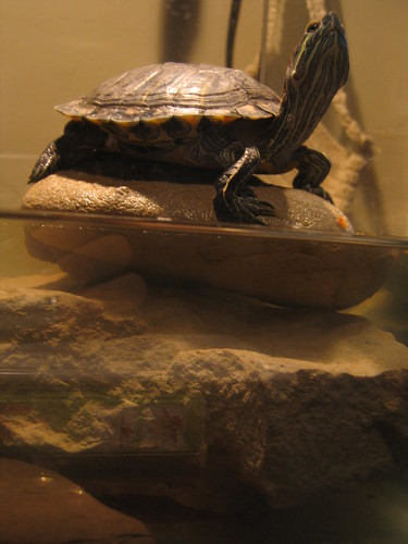 Dinky, our pet turtle