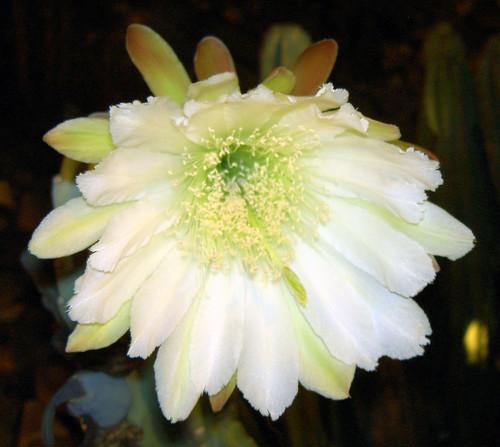 Head On Cactus Bloom