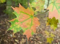 Leaf - Lowville Park