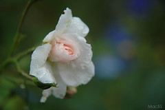 The rose get wet in rain