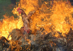 INDONESIA BIRD FLU