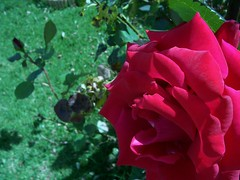 Rose in Summer