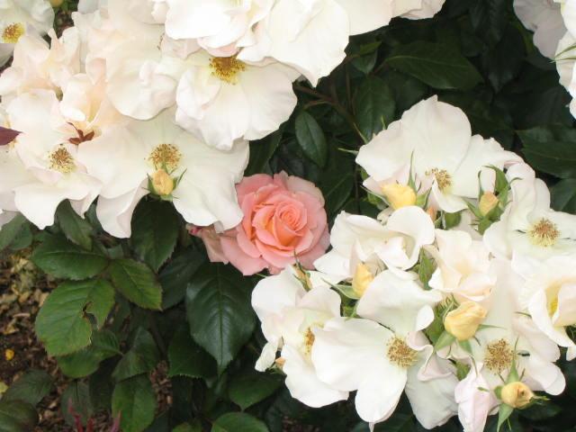 Roses at Peninsula Park