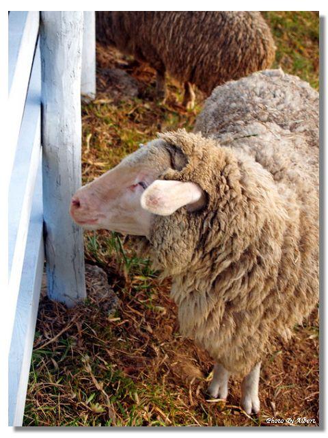 【牧場】桃園復興.綠光森林(富野綿羊牧場)