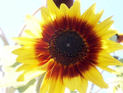 Sunflower in Alice's Garden