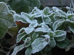 Frosty geraniums
