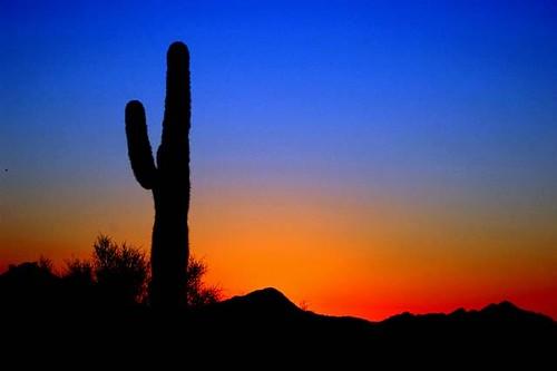 Saguaro in sihlouette