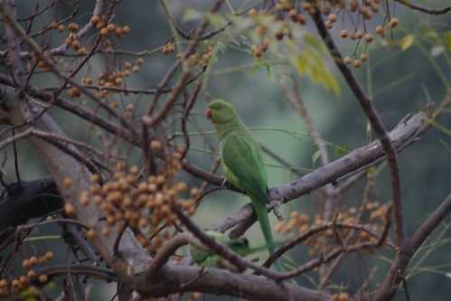 Wild parrots in the city of Lahore