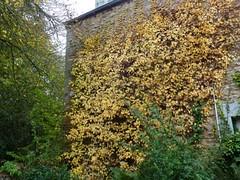 H. petiolaris automne