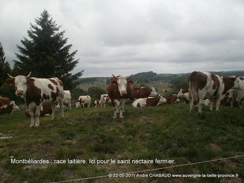 Montbéliardes-Cantal-2