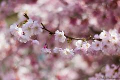 Douceur des fleurs de cerisier photo by Dido Photography.