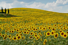 Sunflowers in Tuscany photo by Giuseppe Toscano
