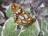 papillon le petit nacré