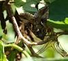 papillon nocturne- Plusie gamma