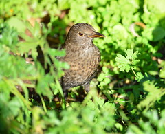 Female Blackbird photo by Doolallyally