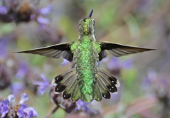 Symmetrical hummingbird copy photo by Slingher