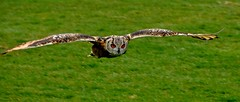 Eagle owl in flight photo by annlinglabank