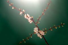 un fiore non fa primavera photo by Finasteride (Magro Massimiliano)