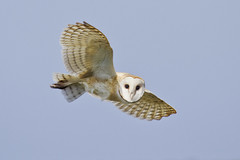 Barn Owl photo by marlin harms