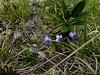 Violette d'Allioni (endémique)