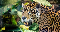 Jaguar photo by mduckitt