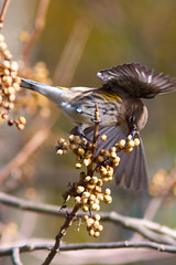 Yellow-rumped warbler photo by Henry McLin