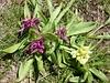 Orchidée sureau, Dactylorhizza sambucina