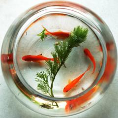 Goldfishes photo by Splash L