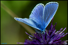 NOTHING COMMON ABOUT THIS BLUE BUTTERFLY photo by ninja nan1