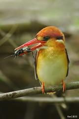 (Explored) Oriental Dwarf Kingfisher with FIM photo by Ken Goh 1.5M views