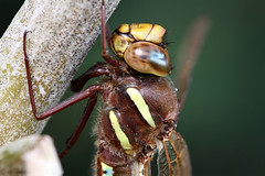 Brown Hawker photo by John Balcombe