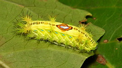 "Stinging Nettle Slug Caterpillar (Cup Moth, Limacodidae) ""Bullseye"" photo by John Horstman (itchydogimages, SINOBUG)"