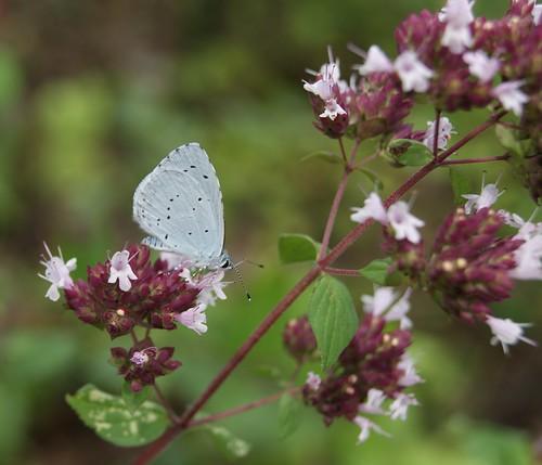 petit papillon bleu pâle, l'Azuré des nerpruns (3)